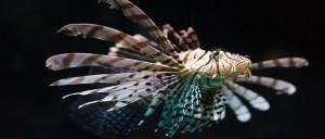 Zebra fish swimming deep in the water